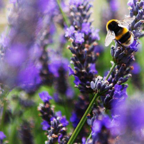 Organic September Bee on Lavender