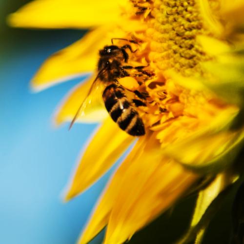 Organic September Honey Bee on Sunflower
